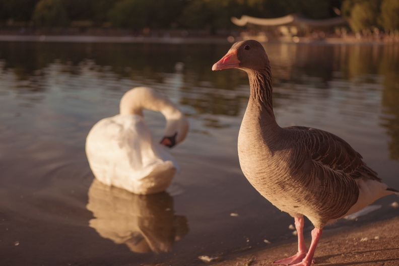 london-swan_duck.jpg